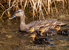 Baby Ducks (DonMiller_ToGo) Tags: chicks duck wildlife celeryfields nature bird birds outdoors birdwatching d810 florida