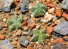 Aztekium valdezii VM 1043 (Resenter89) Tags: cactus piante grasse succulente cacti kakteen cactaceae aztekium valdezii vm 1043 sierra madre nuevo leon mexico desert mineral soil seedlings