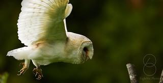 Barn_Owl_Flight