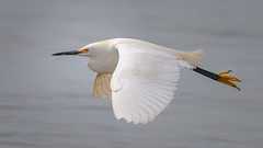 MamaMadeMeWearBoots (jmishefske) Tags: 2018 d850 nikon lakefront water flying milwaukee grant june southmilwaukee flight bif bird wisconsin beach park snowy egret county lakemichigan