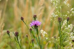 Flower (LuckyMeyer) Tags: garden flower fleur sun green field