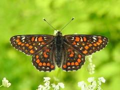 Scarce Fritillary  ♂ (Euphydryas maturna) (eerokiuru) Tags: scarcefritillary euphydryasmaturna maivogel suurmosaiikliblikas butterfly p900 nikoncoolpixp900
