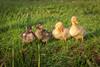 2H4A6590 (.FB.com/WildeBoerPhotography) Tags: duck eend animal birds birdwatching bird vogel vogels cwildeboerphotography wwwwildeboerphoto wwwfacebookcomwildeboerphotography wwwinstagramcomdeboerit canon5dmarkiv sigma150600mmf50f63c
