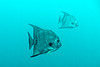 Atlantic Spadefish (agasfer) Tags: 2018 florida panamacitybeach pcb underwater scuba diving marine life fish canon g1xmk2 intova iss2000 topaz detail3 denoise6