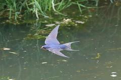 Flying Swallows (Dougie Edmond) Tags: monkton scotland unitedkingdom gb bird birds migratory nature wildlife summer visitor