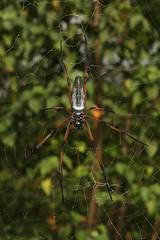 Nephila inaurata ♀ (Red-legged Golden Orb-weaver) - Seychelles, (Nick Dean1) Tags: spider orbweaver arachnid arachnidae arachnida nephilainaurata redleggedgoldenorbweaver seychelles mahe indianocean animalia arthropoda