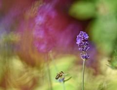 Lavender and bee. (agnieszka.a.morawska) Tags: beyondbokeh bokehlicious bkhq ogród garden lawenda pszczoła nature bee lavender macro dof bokeh helios helios44m