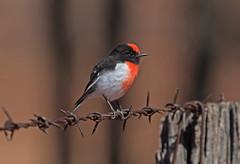 Red-capped Robin (christinaportphotography) Tags: redcappedrobin petroicagoodenovii robin eulobore queensland australia bird birds wild free focus bokeh