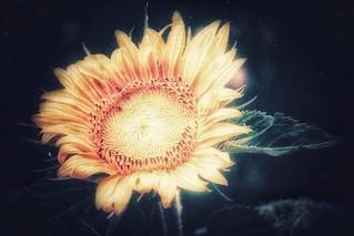 the fairy tale of a sunny sunshine love flower