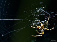 Dark-light predation (_MarcoM_) Tags: predation predazione aracnide ragno spider nature natura prey preda web ragnatela light luce dark buio italy italia macromondays