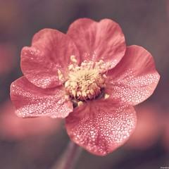 Douceur matinale (Photography Christophe.H) Tags: fleur flower goutte drop macro art exterieur été reflex bokeh canon blur nature 700d 1855mm 1855