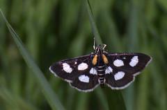 Anania funebris; White-spotted Sable Moth (urmas ojango) Tags: lepidoptera liblikalised insecta putukad insects moth rohuleediklased crambidae nationalmothweek ananiafunebris whitespottedsablemoth