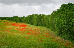Springtime (galavardo) Tags: panasonic lumix lx100 valenciadedonjuan castillayleón españa spain campo field árboles trees amapolas poppies primavera springtime