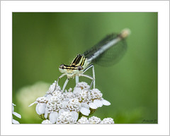 Top model Damselfly (Francis =Photography=) Tags: insecte agrion fleurs coenagrionpuella animal animalia agrionjouvencelle agrionfemelle demoiselles coenagrionidae coenagrion yeux eyes azuredamselfly macro fleur