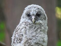 Barred Owlet (Brix5) Tags: elleaquitaine owl owlet barredowl nature raptor canada avian barredowlet park spring burnaby fledgling
