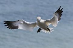Preparing to Land (jillyspoon) Tags: gannet landing feathers beak canon bempton rspb