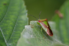 Shield Bug (keeleyainsworth1) Tags: insect bug trees nikond500 tamron90mm macro