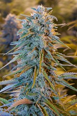 fhs0016_40_product_lbox (Watcher1999) Tags: gorillla glue blue dream cannabis seeds mk ultra medical marijuana growing weed smoking ganja legalize it