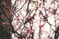 Spring Blossoms (Laura Burden Media) Tags: spring summer weather beautiful stunning lightroom edit adobe photo photography photographer image flowers flower floral blossoms blossom new life british canon 400d pretty nature natural pink cherry tree plant urban explore exploring student blogger bokeh effect
