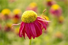 colourful............ (atsjebosma) Tags: bloem summer zomer colourful kleurrijk atsjebosma thenetherlands nederland 2018 june juni tuinen appeltern coth5 ngc npc