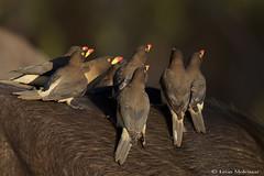 Yellow-billed Oxpeckers (leendert3) Tags: leonmolenaar southafrica krugernationalpark wildlife nature birds yellowbilledoxpecker ngc npc naturethroughthelens coth5