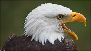 The Bald eagle. Anholt wildpark. Germany.