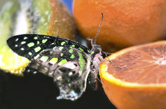 Farfalla 3 (Maurizio Belisario) Tags: farfalla butterfly ali volo insetto animali animals insect nature natura frutta fruit orange arancia