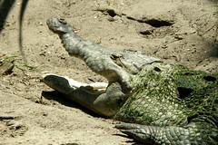 St Augustine Alligator Farm (Tiger_Jack) Tags: staugustinealligatorfarm zoo zoos zoosofnorthamerica zoosoftheworld zoosofthesouth alligator alligators