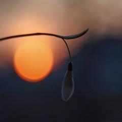 Snowdrop and setting sun. (agnieszka.a.morawska) Tags: beyondbokeh bkhq bokehlicious bokeh dof helios44m spring sunset snowdrop