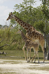 Giraffe with calf (ucumari photography) Tags: ucumariphotography zoo miami fl florida march 2018 giraffe calf animal mammal dsc3748