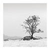 Adversity (richieJ 11) Tags: dartmoor snowstorm moorland lonetree granite rocks