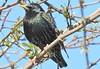 Sturnis vulgaris Starling (pete Thanks for 3 Million Views) Tags: sturnis vulgaris starling