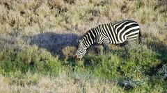 Plains Zebra at Lewa (Susan Roehl) Tags: kenya2015 lewawildlifeconservancy eastafrica plainszebra equusquagga mostcommonzebra animal mammal herbivore threatenedbyhumanactivities highlysocial formharems thenformherds stable notendangered bachelorgroups susanroehl photographytour naturalexposures pentaxk3 sigma150500mmlens handheld slightlycropped coth5 ngc