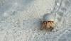 Hermit Crab (MWBee) Tags: themaldives dhunikoihu hermitcrab crab sand mwbee nikon d750 beach eyes claws legs crustaceans