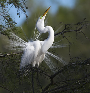 A rutual so beautifully done! Great Egret displaying!