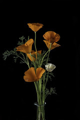 Poppies In A Vace (Bill Gracey 21 Million Views) Tags: flores flowers blackbackground offcameraflash softbox tabletopphotography vase fleur poppy macrolens yongnuo yongnuorf603n homestudio nature naturalbeauty naturephotography californiagoldenpoppy ivorycastlepoppyflower flowerphotography