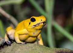poison dart frog (Danyel B. Photography) Tags: poison dart frog reptile animal reptil pfeilgiftfrosch frosch toxic colors yellow neon nature natur macro makro close stone sitting waiting