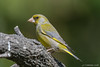 Chloris chloris  ♂︎ (Verdone comune, Greenfinch). (Ciminus) Tags: naturesubjects aves ornitologia nature ciminus birds afsmicronikkor105mmf28gedvrii verdone ciminodelbufalo greenfinch wildlife verdonecomune oiseaux verdierdeurope afsnikkor500mmf4gedvrii ornitology nikond500 uccelli