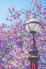 Springtime Somewhere (Paul B0udreau) Tags: paisley abbeybridge paisleyabbey scotland lamppost blossoms pink