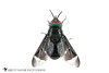 Deer Fly (Chrysops separatus) 20180324_4621.jpg (Abbott Nature Photography) Tags: photography neoptera organismseukaryotes whiteseamlessbackground pterygota endopterygota arthropodaarthropods animals dipteratruefliesfly brachycera technique invertebratainvertebrates hexapoda insectainsects gordo alabama unitedstates us