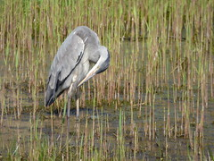 Heron (LouisaHocking) Tags: heron birds nature wild wildlife forest farm cardiff british water