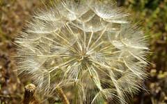 Plants 16 (orientalizing) Tags: dandelion desktop featured greece mani panayiaagitria plants tigani