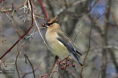 Cedar Waxwings (Sweetlassie) Tags: cedarwaxwing bird minersmarsh rosehip