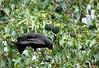 ♂ Merle et son petit déjeuner (jean-daniel david) Tags: oiseau merle fruit verdure vert noir arbre feuille feuillage baie réservenaturelle yverdonlesbains closeup déjeuner