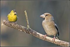 _DSC0078_Tarin des aulnes et Grosbec casse noyaux (patounet53) Tags: carduelisspinus coccothraustescoccothraustes eurasiansiskin fringillidés grosbeccassenoyaux hawfinch passériformes tarindesaulnes bird oiseau