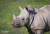 Southern White Rhino (ToddLahman) Tags: southernwhiterhino rhino beautiful portrait outdoors mammal sandiegozoosafaripark safaripark canon7dmkii canon canon100400 closeup escondido eyelock