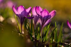 Easter-Crocus (Theo Crazzolara) Tags: crocus krokus spring easter ostern frühling wildflower springtime garden garten flower blume sunset romantic beautiful vacation relax relaxing calm beauty