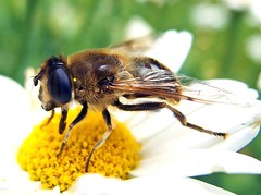 Schwebfliege (anubishubi) Tags: insekt insect schwebfliege makro pentaxmx1