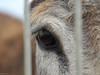 Donkey (jesse_the_ros) Tags: white wandering mammalia asinus equidae 60mm exploring nature olympus equus africanus animalia photography donkey animal macro explore chordata perissodactyla outdoor kralendijk bonaire