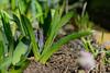 Hyazinthe (OK's Pics) Tags: blende18 blume blüte brennweite35mm49mm de deutschland garten hessen hyacinthus hyazinthe iso160 kameranikon1v3 mainzkostheim objektiv1nikkor185mmf18 pflanze wiesbaden zeit12500